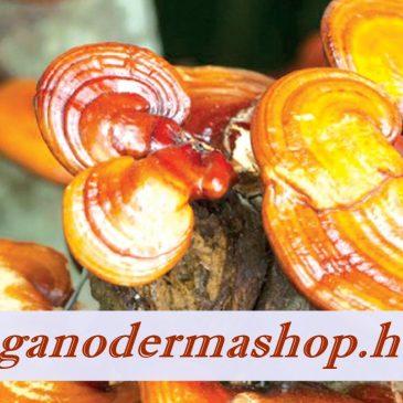A Ganoderma Hatása, Mi a ganoderma gyógygomba titka?